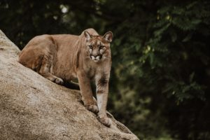 Cougar Correlation With Lyme Disease